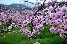 「桃花」的圖片搜尋結果