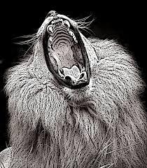 lion roaring black and white. Modren Roaring Lion Photograph  Black And White Roar By Don Johnson Inside Roaring