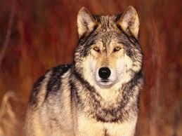 банк обоев обои серый волк одиночка фото обои для рабочего стола