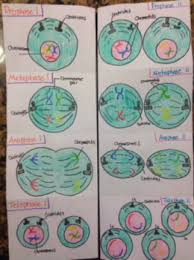 cell cycle flip book classroom activities mrs stuartscience