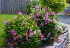 Image result for lilac shrub