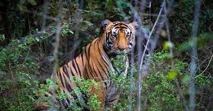 india tiger quest a photo safari