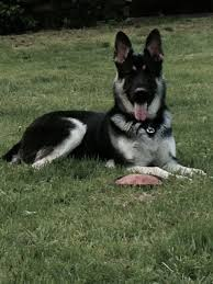 black and silver german shepherd.  And Silver German Shepherd Shepherds Black Silver Shepherd  Dogs Sheep Dogs Throughout And M