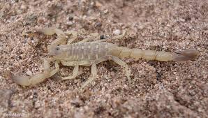 Scorpion: Vaejovis crassimanus