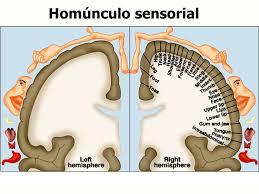 30 homúnculo sensorial