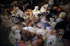 lots of dogs together. Simple Lots Rescueddogsyulindogmeatfestivalchina4 And Lots Of Dogs Together