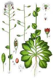 Draba muralis - Wikipedia, la enciclopedia libre
