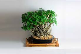20 year old schefflera bonsai tree bonsai tree