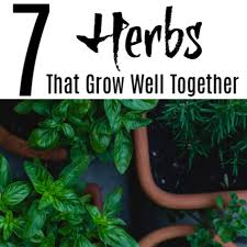 7 herbs that grow well together in pots