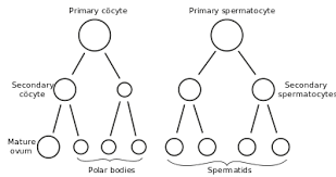 Gametogenesis Wikipedia