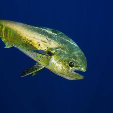 Dolphin Fish (Mahi-Mahi) Facts