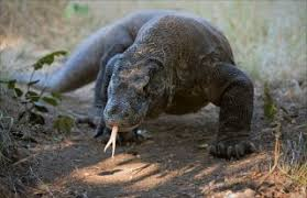 Komodo Dragon Facts Live Science