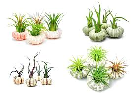 air plant containers air plant sea urchin kits natural shell containers holders for live air plant air plant containers