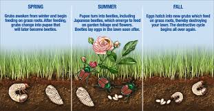japanese beetles life cycle life and death cycle of japanese beetles