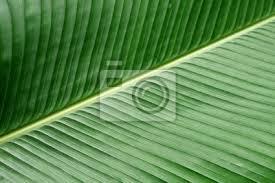 textura verde textura verde hoja de platano fototapete fototapeten rang