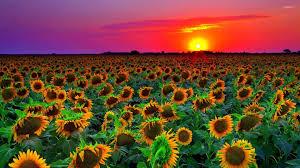 Sunflowers At Sunset Wallpaper Jpg Data ...