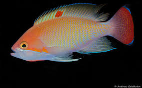 Fish Seeker Depth Chart The Colorful Fish Of Fiji Underwater Photography Guide