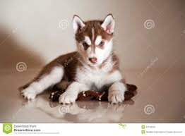 siberian husky newborn puppies. Plain Puppies Newborn Puppy To Siberian Husky Puppies H