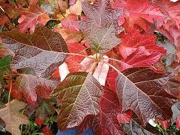 fall foliage of the oakleaf hydrangea
