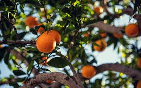 wallpaper orange fruit tree branch