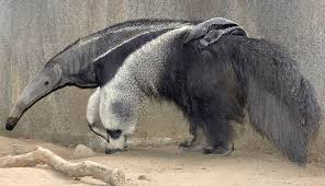 Image result for anteater mom and baby