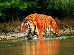 siberian tiger wallpaper desktop. Wonderful Desktop Wallpapers For U003e Siberian Tiger Wallpaper Desktop In T