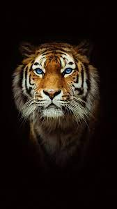 Tiger iPhone HD Wallpapers - Top Free ...