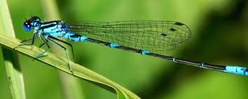 Image result for Dragon fly