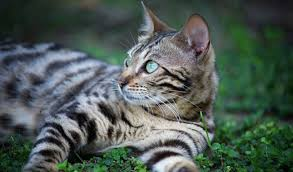 white bengal cat.  Cat Bengal Cat Laying In Grass In White N
