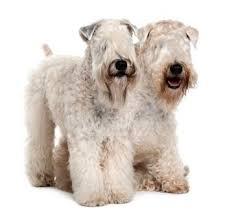 Wheaten Terrier Size Chart How To Groom A Wheaten Terrier Lovetoknow