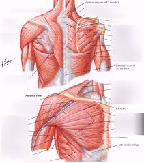 Chest is a muscle party to which practitioners often attach great importance to the training plan. Shoulder Back Chest Muscles Diagram Quizlet