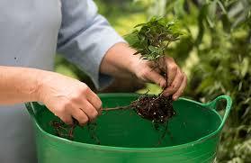 preparing plants for the terrarium