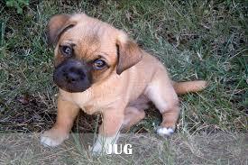 german shepherd boxer mix puppies. Modren German German Shepherd Boxer Mix Puppies For Sale Golden Retriever In