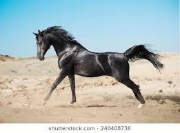 black arabian horse running. Plain Running Black Arab Horse Running In Desert On Black Arabian Horse Running K