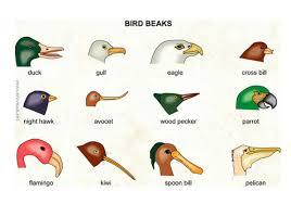 Bird Beak Chart Bird Beaks Investigate How Different Types Of Beaks Are