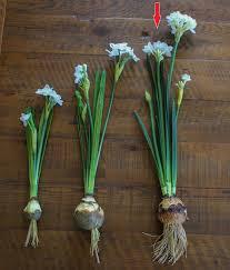 White Paper Flower Bulbs Paper Bulbs Flower Magdalene Project Org