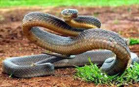 うねるコブラ