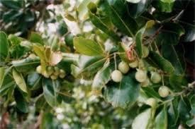 3 Persimmons Qu0027sseeds Location LotusLotus Fruit Tree