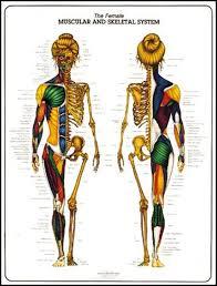 Female Muscular Skeletal System Anatomy Poster