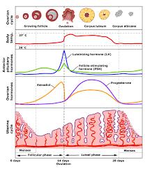 Lh Levels Chart Lh And Fsh Bismi Margarethaydon Com