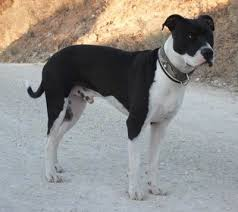 black american staffordshire terrier. Wonderful Black The Right Side Of A Black And White American Staffordshire Terrier That Is  Standing On A  Throughout Black E