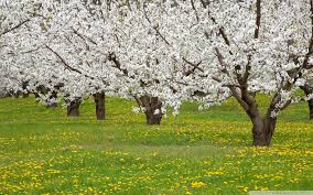 fruit trees wallpapers. Simple Trees Wide  And Fruit Trees Wallpapers