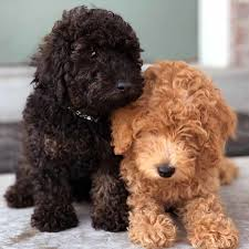 mini doodle dogs labradoodle doodle dog labradoodle puppies labra