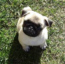 really cute pug puppies. Wonderful Pug Cute Little Puppies Images Cute Pug Puppy Wallpaper And Background Photos And Really Puppies