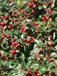 Crab Apple Malus John Downie Autumn Fruit Deciduous Tree Red Small Red Leaf Fruit Tree