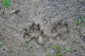 animal track identification animal footprint i d chart the old Aunt Eater at Beaver Wood Eater Wiring Diagram