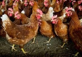 En Ardèche, un éleveur donne 3000 poules pour qu'elles ne finissent pas à l'abattoir
