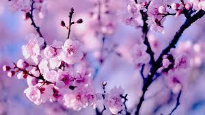 cherry blossom free computer wallpaper ...