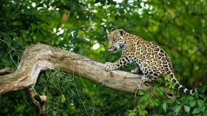 baby jaguar wallpaper. Unique Jaguar Wild Cat Baby Jaguar Child On Baby Jaguar Wallpaper