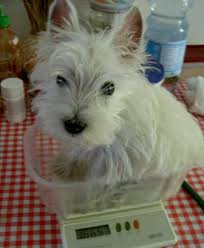 West Highland Terrier Growth Chart Westie On A Kitchen Scale Rubber Slippers In Italy
